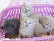 Kucing Hias